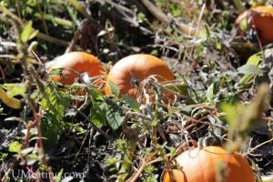 cousins-pumpkin-patch